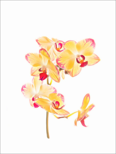 Premium poster Yellow orchid