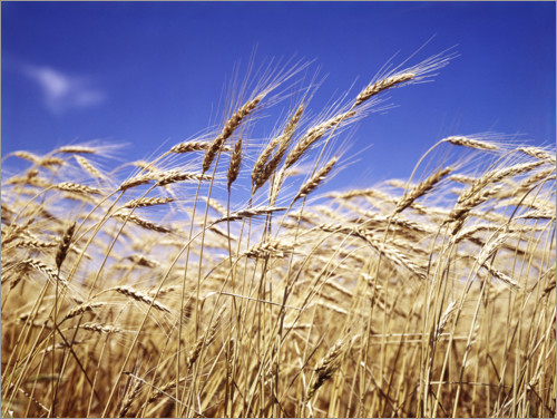 Premium poster Barley heads in front of blue sky