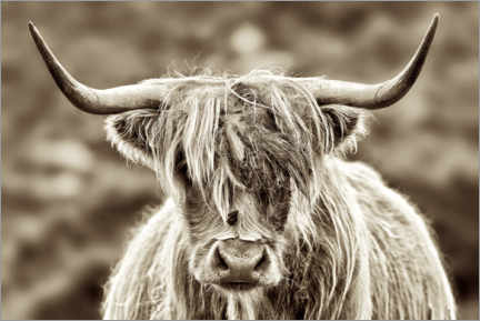 Acrylglas print  Face to face with the highland cattle