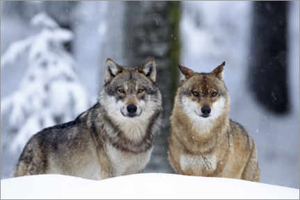 Canvas print  Wolves in the snow - age fotostock
