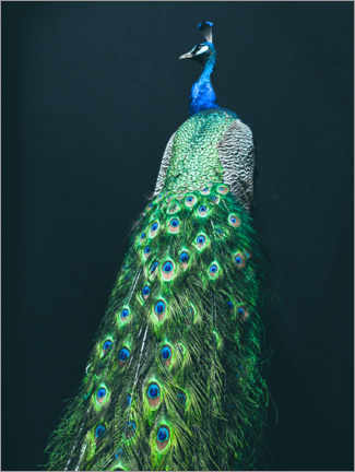 Canvas print  Peacock I - Magda Izzard