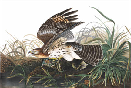 Gallery print  Red-shouldered falcon and prey - John James Audubon