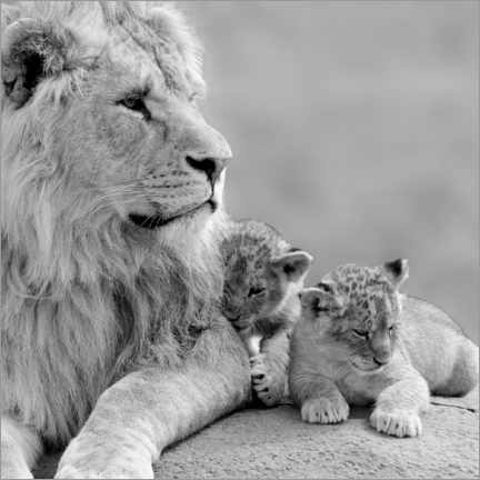 Canvas print  Young lions black and white