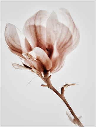 Canvas print  Blooming magnolia - Magda Izzard