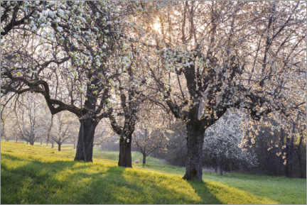 Acrylglas print  Blossoming cherry trees in the light of the rising sun - The Wandering Soul
