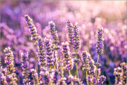 Canvas print  Lavender in the evening light - Christian Müringer