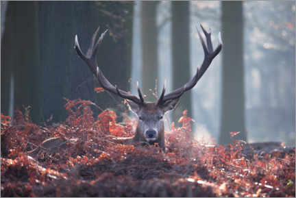 Premium poster A majestic red deer stag