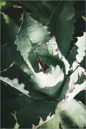Premium poster Silver agave