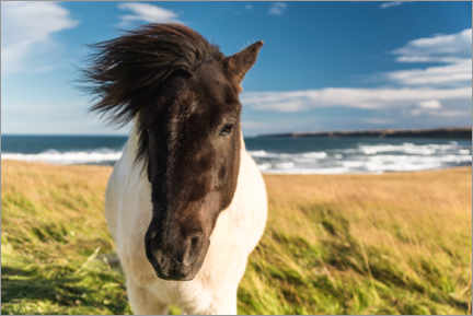 Premium poster Icelandic horse with a windy mane by the sea