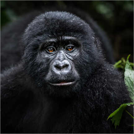 Canvas print  Young gorilla in Bwindi - Marcel Gross
