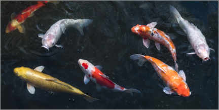 Canvas print  Colorful koi carp in the pond - Jan Christopher Becke