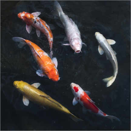 Canvas print  Colorful koi carp - Jan Christopher Becke