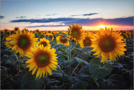Canvas print  Sunflowers - Steffen Gierok