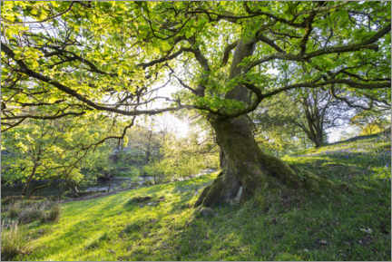 Acrylglas print  Imposing tree in spring with sunlight in England - The Wandering Soul