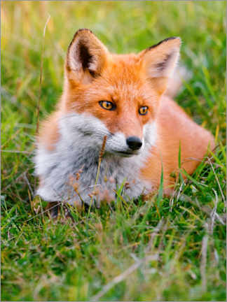 Acrylglas print  Portrait of a young fox in the grass - Marcel Gross
