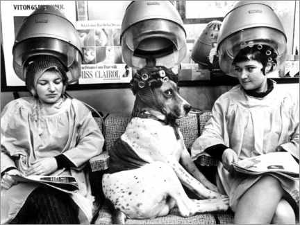 Canvas print  Dog with curlers at the hairdresser's - John Drysdale