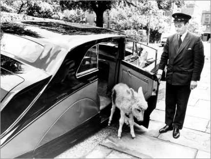 Premium poster Donkey with a chauffeur
