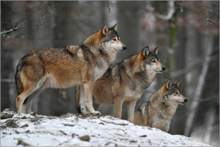 Canvas print  Timber wolves in the snow - Michael Weber