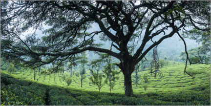 Aluminium print  Tea plantation in the mountains of India - Matthew Williams-Ellis