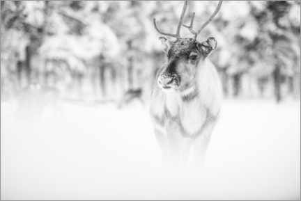 Aluminium print  Reindeer in Lapland - Matthew Williams-Ellis