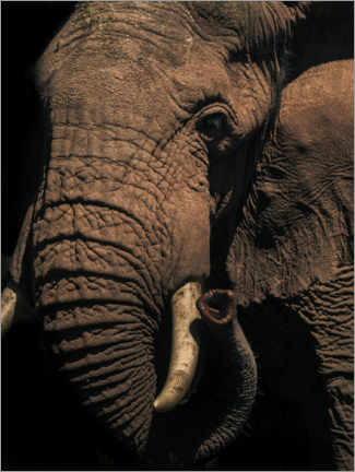 Premium poster  Close up of an African elephant - Matthew Williams-Ellis