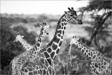 Gallery print  Herd of giraffes in the savannah - Matthew Williams-Ellis