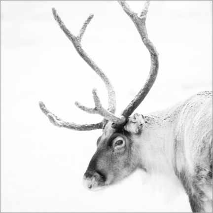 Acrylglas print  Reindeer in the Arctic - Matthew Williams-Ellis