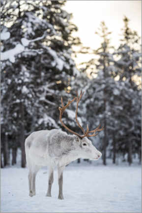 Canvas print  Reindeer at Sunset in the Winter Forest - Matthew Williams-Ellis