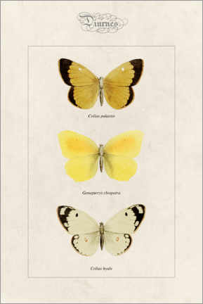 Acrylglas print  Moorland clouded yellow, cleopatra and pale clouded yellow - Alexis Nicolas Noel