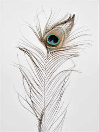 Canvas print  Peacock feather - Magda Izzard