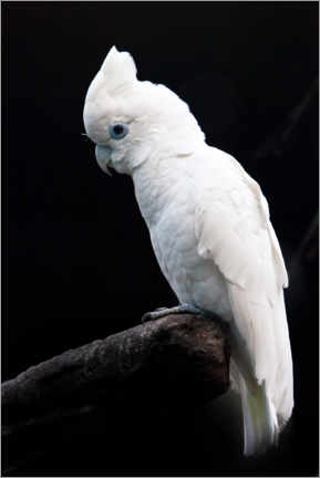 Hout print  Beautiful white cockatoo - Mikhail Semenov