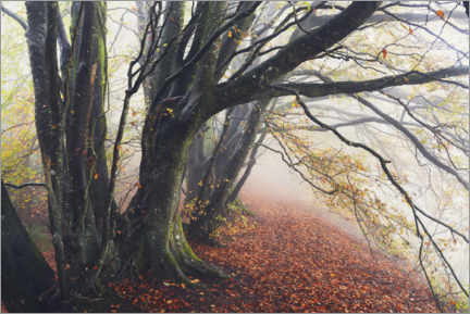 Premium poster Wondrous beeches in autumn and fog in England