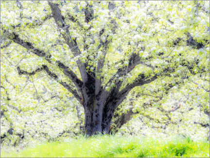 Acrylglas print  Spring blooming apple tree - Sylvia Gulin