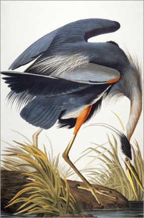 Hout print  Great Blue Heron - John James Audubon