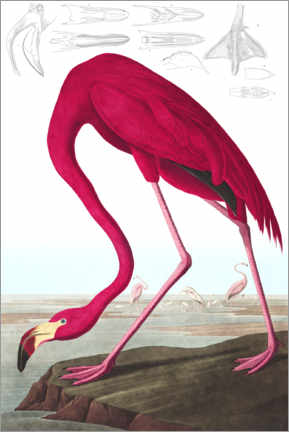 Aluminium print  Rode flamingo, The Birds of America - John James Audubon