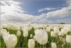 Gallery print  White tulip fields - George Pachantouris