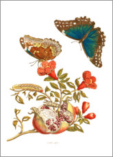 Premium poster  Pomegranate and blue morpho - Maria Sibylla Merian