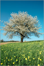 Muursticker  Blossoming cherry tree in spring on green field with blue sky - Peter Wey
