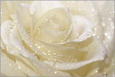 Gallery print  White rose with drops - Atteloi