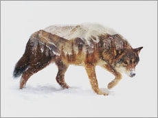 Gallery print  Arctic Wolf - Andreas Lie