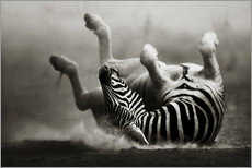 Gallery print  Zebra rolling upside down on dusty desert sand - Johan Swanepoel