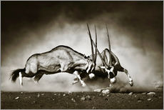 Muursticker  Gemsbok antelope fighting in dusty sandy desert - Johan Swanepoel