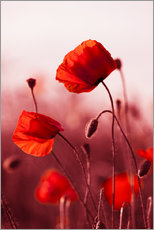 Gallery print  Poppies at sunset