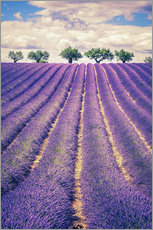 Muursticker  Lavender field with trees in Provence, France