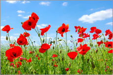 Gallery print  Red poppies in green field