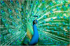 Gallery print  Portrait of a Peacock