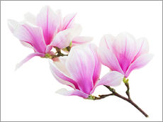 Gallery print  Branch of pink magnolia