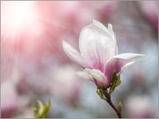 Gallery print  Magnolia flower in sunlight