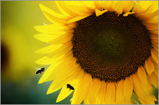 Gallery print  Two bees in sunflower