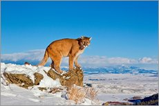 Gallery print  Puma standing on rock in snow, Rocky Mountains - FLPA